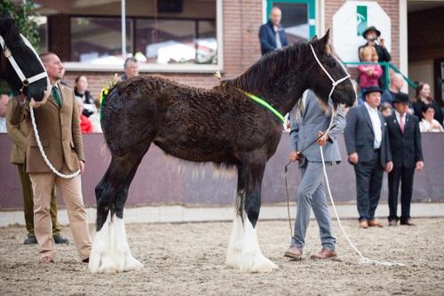 shire horse fohlen kaufen